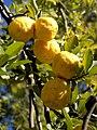 Citrus x limon (Outjo) 1.jpg