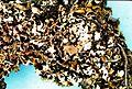 Cladonia apodocarpa-3.jpg