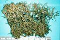 Cladonia furcata.jpg