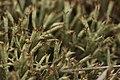 Cladonia uncialis (35536527464).jpg