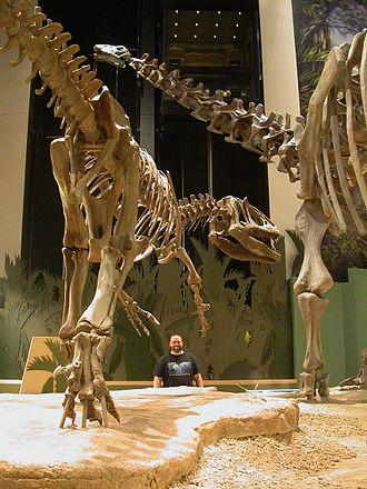 Apatosaurus - Saurophaganax and A. ajax, Sam Noble Oklahoma Museum of Natural History