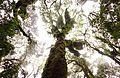 Cloud Forest Celaque Tree.jpg