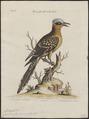 Coccystes glandarius - 1700-1880 - Print - Iconographia Zoologica - Special Collections University of Amsterdam - UBA01 IZ18800257.tif
