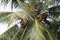CoconutTree3.JPG
