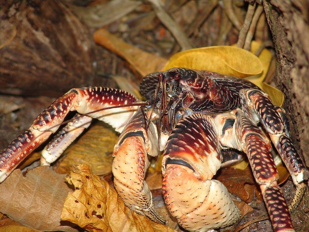filecoconut crab birgus latro 3 4091441948jpg
