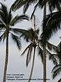 Coconut heart rot 1 (5684213735).jpg