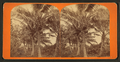 Coconut palms in fruit, from Robert N. Dennis collection of stereoscopic views.png