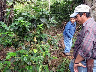 Coffee production in Nicaragua