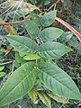 Coffee senna (Senna occidentalis) leaf.jpg