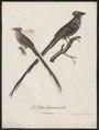 Colius erythromelon - 1796-1808 - Print - Iconographia Zoologica - Special Collections University of Amsterdam - UBA01 IZ19300015.tif