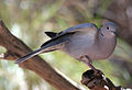 Collared Dove (400927799).jpg