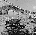 Collectie Nationaal Museum van Wereldculturen TM-20006293 Een kudde koeien op weg Sint Maarten Boy Lawson (Fotograaf).jpg