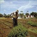 Collectie Nationaal Museum van Wereldculturen TM-20029719 Landarbeider wiedt onkruid op Plantage Aruba Bonaire Boy Lawson (Fotograaf).jpg