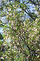 Colutea orientalis - Fructification-2.jpg