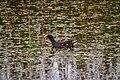 Common Moorhen (23650291304).jpg