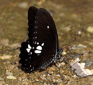 Papilio castor - Image: Common Raven Yuwaraj Gurjar