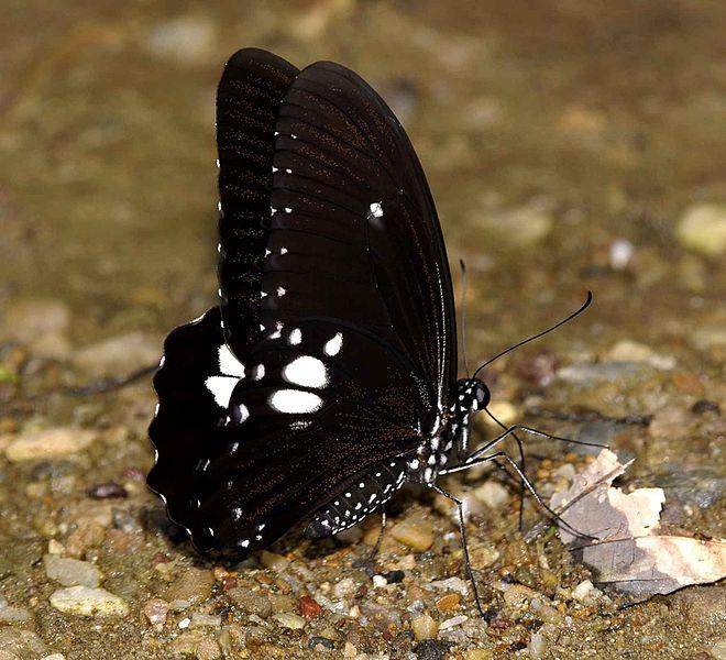File:Common Raven - Yuwaraj Gurjar.jpg