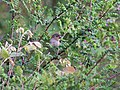 Common Rosefinch I IMG 3937.jpg