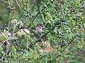 Common Rosefinch I IMG 3937.jpg