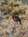 Common Starling (Sturnus vulgaris) (32277390143).jpg