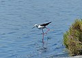 Common Stilt (Himantopus himantopus) (14820697123).jpg