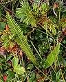 Common Yarrow (Achillea millefolium) - Bonavista, Newfoundland 2019-08-13.jpg