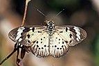 Common acraea (Acraea encedon encedon) 2.jpg