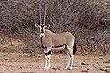 Common beisa oryx (Oryx beisa beisa) female.jpg