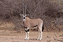 Common beisa oryx (Oryx beisa beisa) female.jpg