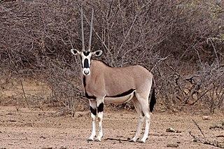 East African oryx Species of mammal