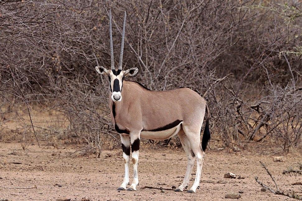 Common beisa oryx (Oryx beisa beisa) female