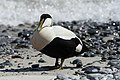 Common eider (male) on the dune, Heligoland.jpg
