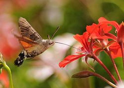 ComputerHotline - Macroglossum stellatarum (by) (2).jpg