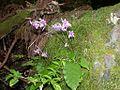 Conandron ramondioides iwtbk01.jpg