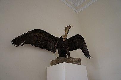 Condor andino empalhado.jpg