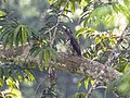Congo Serpent Eagle from Kakum Canopy Walkway - Ghana 14 S4E1475 (16013044717).jpg
