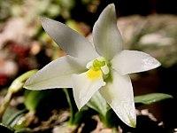 Constantia cipoensis.jpg