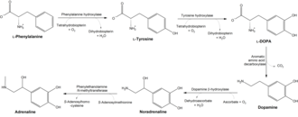 Tyrosine - Conversion of phenylalanine and tyrosine to its biologically important derivatives.