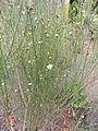 Convolvulus scoparius kz3.JPG