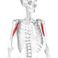 Coracobrachialis muscle06.png