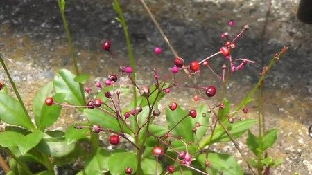 File:Coral flower (Talinum crassifolium).webm