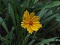 Coreopsis auriculata.jpg