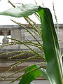 Corn tassel US Botanical Garden Washington DC.jpg