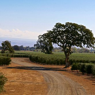 Corning, California - High density Arbequina olive orchard in Corning.