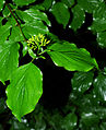 Cornus sanguinea - flowers and leaves 02.jpg