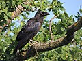 Corvus corax (35307371936).jpg