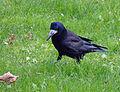 Corvus frugilegus, Rook, Saatkrähe 02.JPG