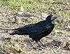 Corvus frugilegus Orunia.jpg