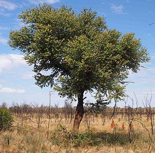 <i>Corymbia setosa</i> species of plant