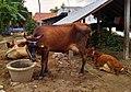 Cow of Arasampattu.jpg